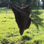 Bee Wrangler Honey & Bee Rescue