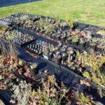Blooming Artichoke Herbary