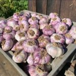 Columbia Gorge Garlic