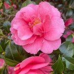 Oregon Flower Tea